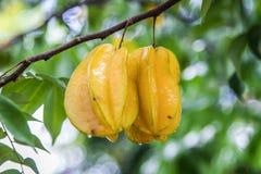 阳桃树 免版税图库摄影