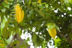 阳桃,拉迪格岛,塞舌尔群岛 图库摄影