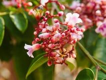 年轻阳桃(Averrhoa阳桃)与花和叶子 免版税库存图片