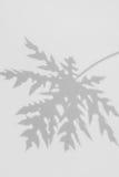 阴影在白色墙壁上的番木瓜叶子抽象背景  免版税库存图片
