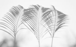 阴影棕榈叶抽象背景在白色墙壁上的 黑色白色 库存照片