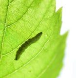 阴影,一条毛虫的剪影在一片绿色叶子的 免版税库存照片