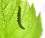 阴影,一条毛虫的剪影在一片绿色叶子的 免版税库存图片