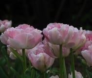 阴暗桃红色和白色郁金香 免版税库存照片