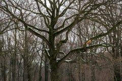 阴沉的橡木树丛的忧郁的图象在冬天 库存照片