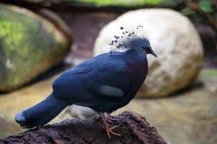 阴沉的鸠在巴塞罗那动物园里 库存图片