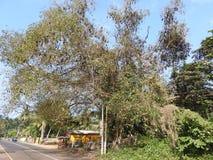 阴险飞行的狗在斯里兰卡在树坐在一个晴天反对天空蔚蓝 库存图片