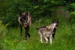 黑阶段灰狼(天狼犬座)和两只小狗 免版税库存照片