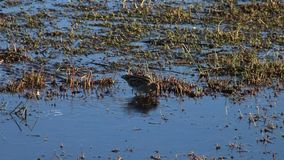 阻击,gallinago gallinago,在浅水区的趟水者 影视素材
