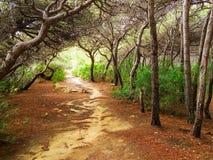 阿勒颇杉木森林  免版税库存照片