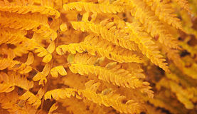 阿卡迪亚国家森林秋天上色蕨。 免版税库存照片