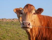 阿基旃f带红色颜色的种族金发碧眼的女人的母牛特写镜头, 库存照片