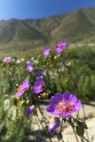 15-08-2017阿塔卡马沙漠,智利 开花的沙漠2017年 库存图片