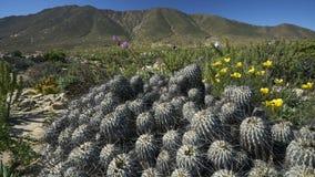 15-08-2017阿塔卡马沙漠,智利 开花的沙漠2017年 库存照片