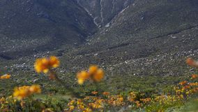 15-08-2017阿塔卡马沙漠,智利 开花的沙漠2017年 免版税图库摄影