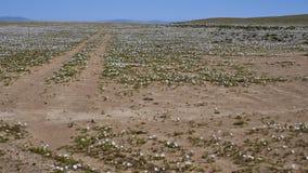 15-08-2017阿塔卡马沙漠,智利 开花的沙漠2017年 免版税库存照片