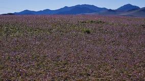15-08-2017阿塔卡马沙漠,智利 开花的沙漠2017年 免版税库存图片