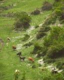 阿塞拜疆-吃草的母牛的乡下 免版税库存图片