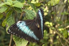阿奇里斯Morpho,青被结合的Morpho蝴蝶 免版税库存照片