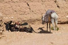 阿富汗在北部的难民营驴在中间战斗的季节 图库摄影
