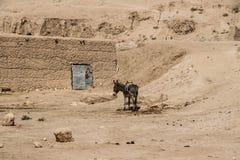 阿富汗在北部的难民营驴在中间战斗的季节 免版税库存图片
