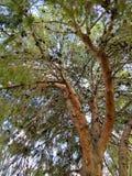 阿富汗杉木冠 免版税库存照片