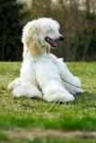 阿富汗狗猎犬 免版税库存照片