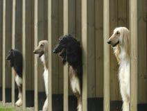 阿富汗狗追逐宠物 库存照片