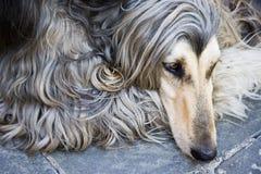 阿富汗狗 免版税图库摄影