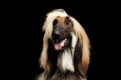 阿富汗猎犬特写在黑色的 库存图片