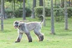 阿富汗猎犬狗走 免版税库存图片