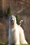 阿富汗猎犬白色 免版税图库摄影