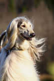 阿富汗猎犬白色 库存照片