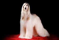 阿富汗猎犬 免版税库存照片