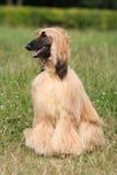 阿富汗猎犬 免版税库存图片