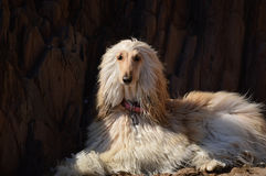 阿富汗猎犬 库存图片
