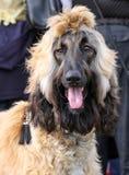 阿富汗猎犬 库存照片