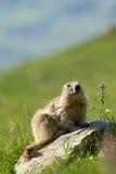 阿尔卑斯土拨鼠 免版税库存图片
