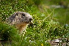 阿尔卑斯土拨鼠 库存图片
