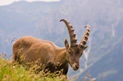阿尔卑斯意大利人steinbock 库存照片
