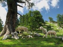 阿尔卑斯朱利安山牧场地 免版税库存图片