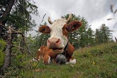 阿尔卑斯母牛瑞士 图库摄影