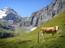 阿尔卑斯母牛jungfrau区域瑞士 免版税库存照片