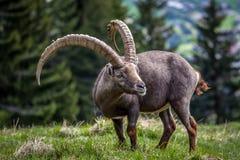 阿尔卑斯的伟大的高地山羊 图库摄影