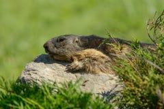 阿尔卑斯的土拨鼠 库存图片
