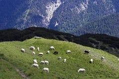 阿尔卑斯绵羊 库存照片