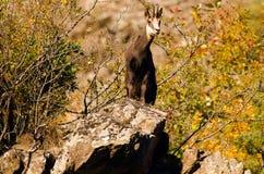 阿尔卑斯羚羊法国国家公园vanoise 库存照片
