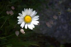 阿尔卑斯雏菊 图库摄影