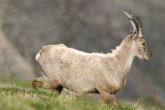 阿尔卑斯apline法国高地山羊 免版税库存照片