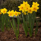阿尔弗莱德Daffodils国王有被覆盖树根的土壤和庭院小雕象的 免版税库存图片